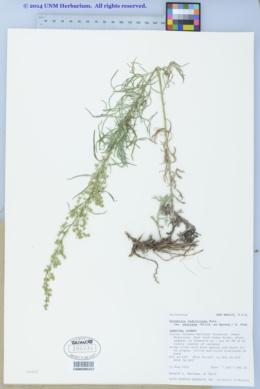 Artemisia ludoviciana subsp. mexicana image