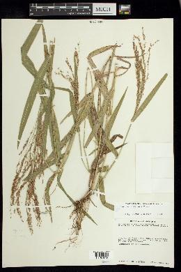 Panicum hirticaule image