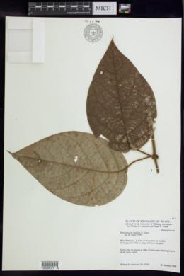 Image of Banisteriopsis basifixa