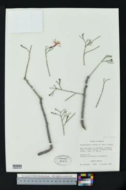 Psittacanthus sonorae image