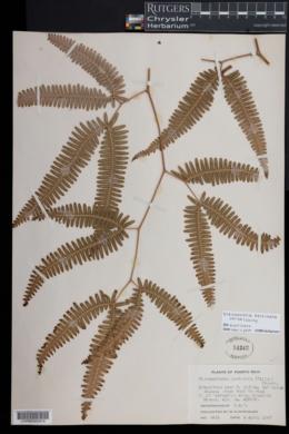 Image of Gleichenella pectinata