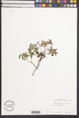 Image of Clematis alpina