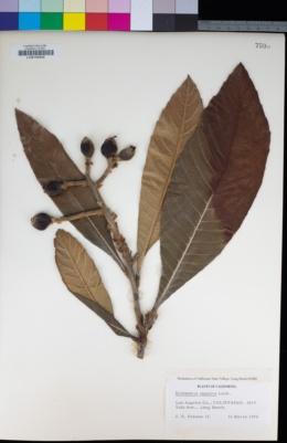 Image of Eriobotrya japonica