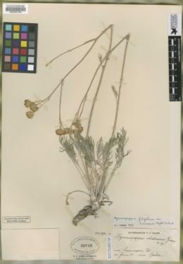 Hymenopappus ochroleucus image