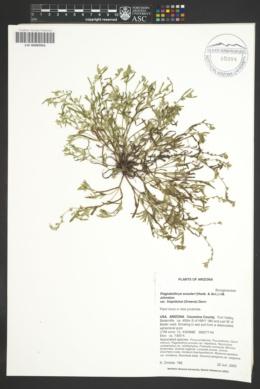 Plagiobothrys scouleri image
