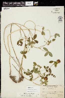 Trifolium medium image