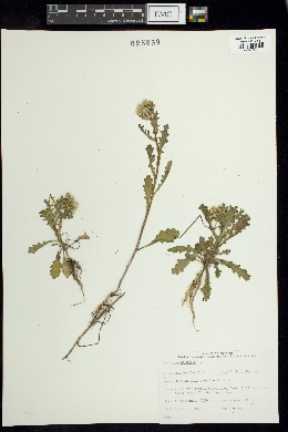 Senecio vulgaris image