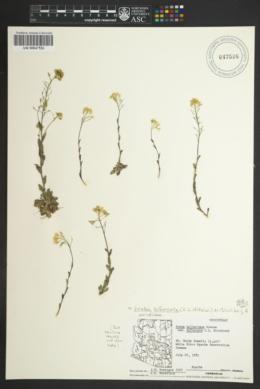 Image of Draba bifurcata