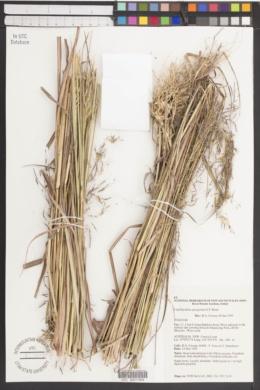 Image of Capillipedium spicigerum