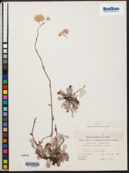 Image of Antennaria farwellii