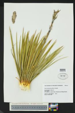 Yucca harrimaniae image