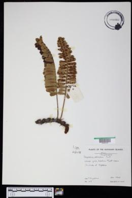 Polypodium pellucidum image
