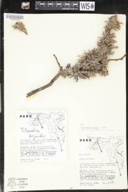 Image of Tillandsia bryoides