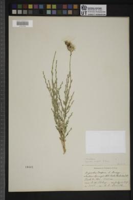Adenophyllum cooperi image