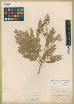 Albizia tomentosa image
