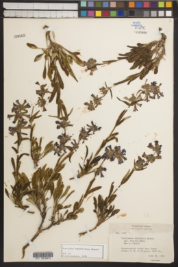 Image of Penstemon cephalanthus
