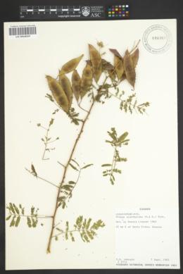 Image of Mimosa acantholoba
