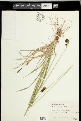 Carex atrosquama image
