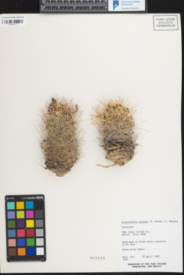 Image of Sclerocactus glaucus