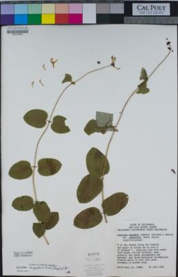 Lonicera hispidula image