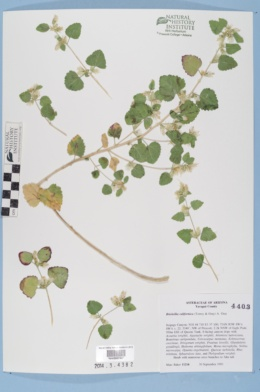 Brickellia californica image