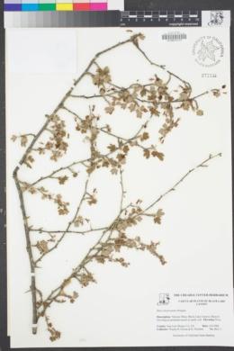 Image of Ribes divaricatum
