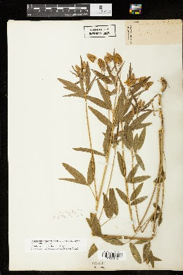 Orbexilum pedunculatum image