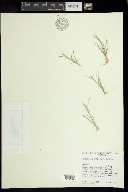 Muhlenbergia annua image