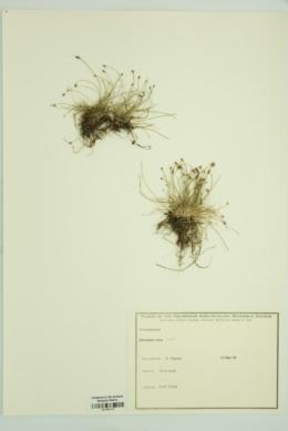 Eleocharis nana image
