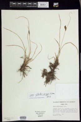 Image of Carex plectocarpa