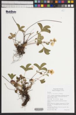 Image of Fragaria cascadensis