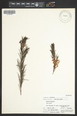 Image of Acacia linifolia