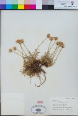 Image of Erigeron barbellulatus