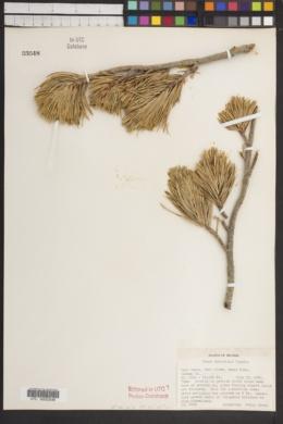 Pinus albicaulis image