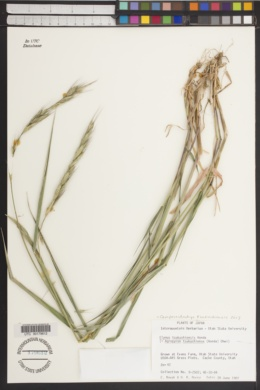 Image of Campeiostachys kamoji
