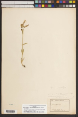 Silene montana image