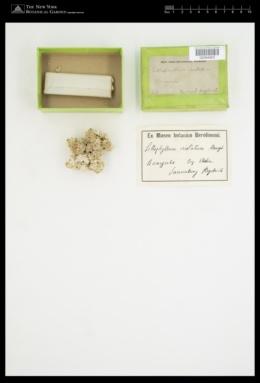 Lithophyllum tortuosum image