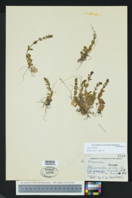 Veronica serpyllifolia image