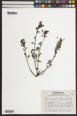 Image of Pedicularis pectinata