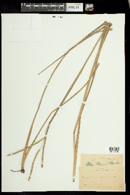 Paspalum laeve image