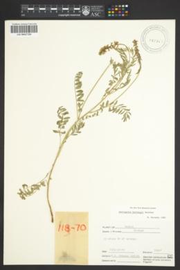 Image of Astragalus hartwegii