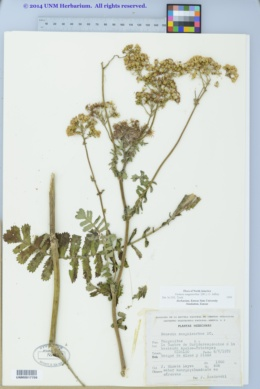 Image of Packera sanguisorbae