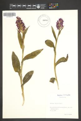 Image of Dactylorhiza purpurella