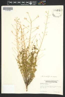 Brickellia microphylla var. scabra image