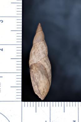 Stagnicola exilis image