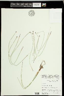 Image of Eleocharis ravenelii