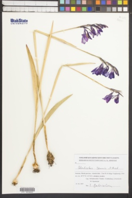 Image of Gladiolus tenuis