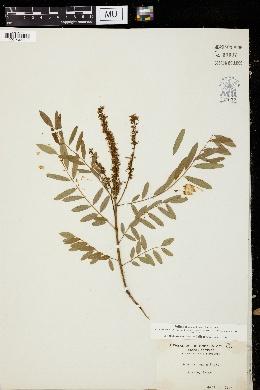 Amorpha roemeriana image
