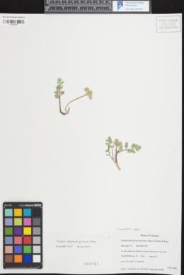 Oreoxis bakeri image