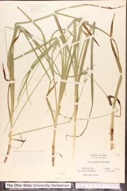 Carex sparganioides image